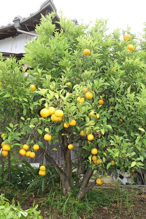 2015.06.台の無い橙