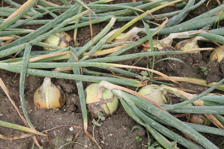 2015.06.10.玉ねぎ収穫の朝02
