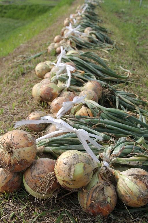 2015.06.10.玉ねぎ収穫の朝06