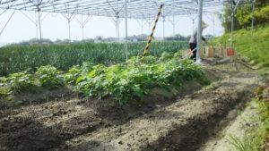 トウモロコシ播種