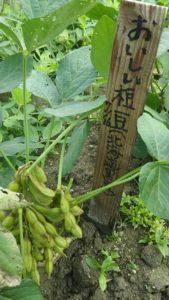 北海道黒豆